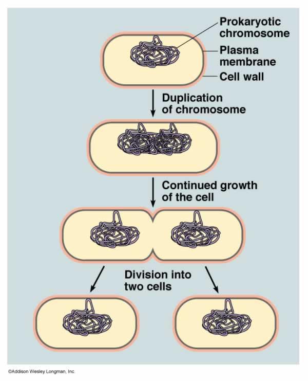 Lactobacillus Acidophilus    Reproduction